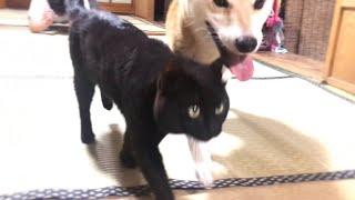 柴犬VS飼い主。猫は加勢…しない⁈ Play with my dog thumbnail