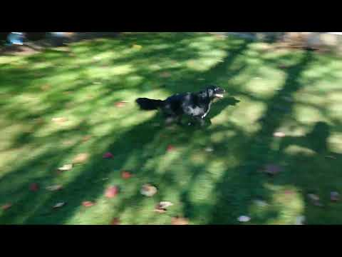 Schipperke Papillon mix: are they fast?
