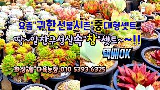 """화성""""힐""""다육농장구경""""창&q…"""