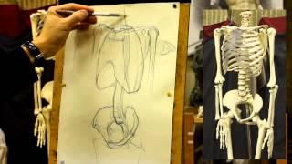 Обучение рисунку.Фигура. 14 серия. Рисунок скелета. Торс