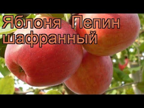 Яблоня средний Пепин шафранный (malus) 🌿 обзор: как сажать, саженцы яблони Пепин шафранный