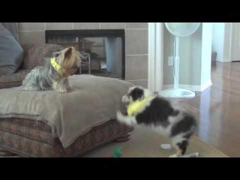 new Australian Shepherd puppy playing with Yorkie