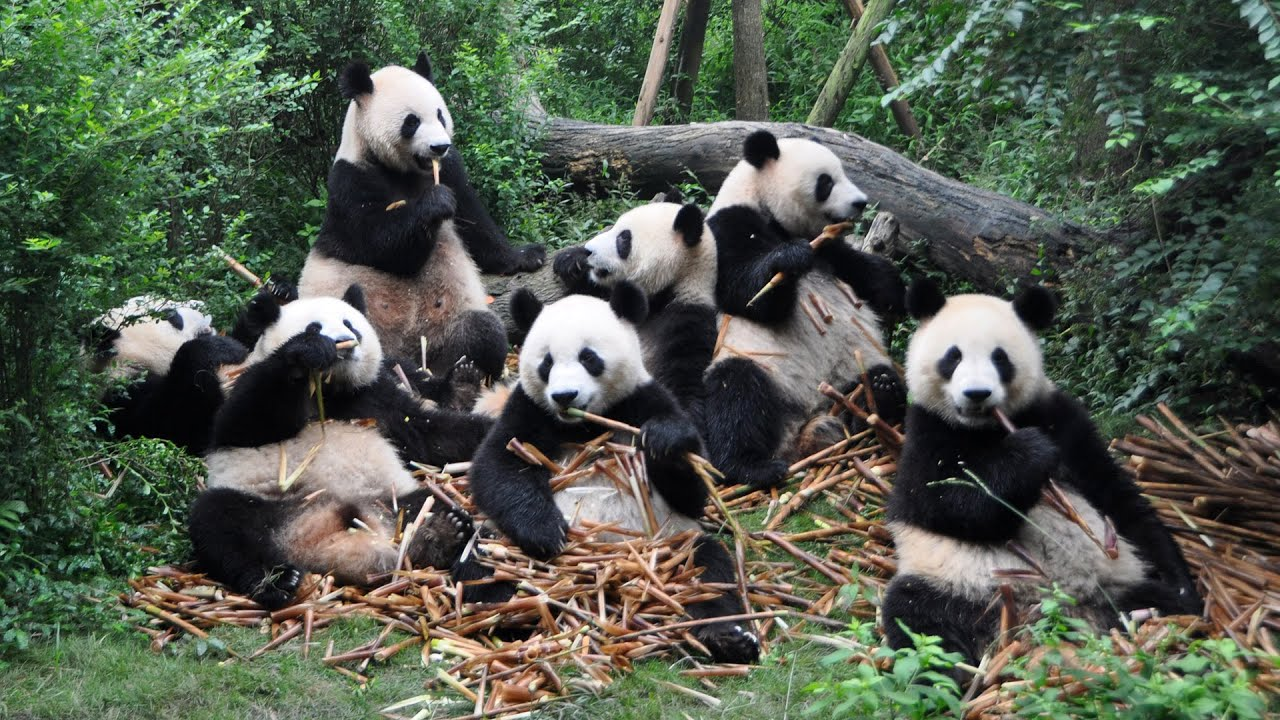 Image result for panda chengdu zoo