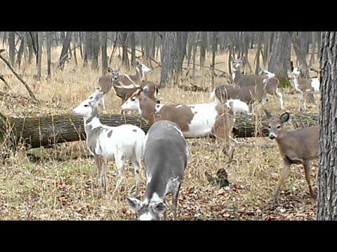 Rare Piebald/Calico Whitetail Deer Herd