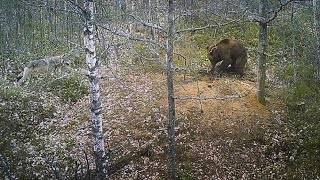 Brown bear attack on a wolf den