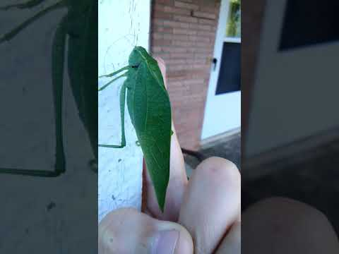 Leafy Katydid (Creepy Creature month)
