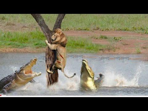 Download Crocodile Terrible Nightmare   Crocodile Too Dangerous, Lion, Hippo   New Animal Video 2021