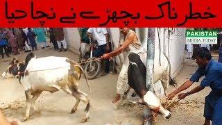 Video Khatarnak Tareen Bail Ne Qasai Ko Nacha Ke Rakh Diya | Danger Bull Qurbani 2017 | Bakra Eid 2017 download MP3, 3GP, MP4, WEBM, AVI, FLV November 2017