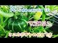 動画で家庭菜園『ミニカボチャの仕立て方 ヤバイ…かな~り遅めの誘引作業(汗)』H…