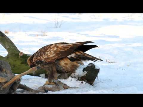 "Golden Eagle ""Fox"" vs. White-tailed Eagle ""Boel"" at Store Mosse National Park, Sweden"