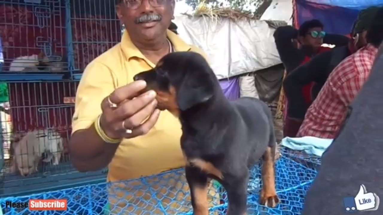 Energetic Rottweiler Puppy For Sale At Galiff Street Pet Market Kolkata Youtube