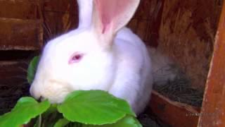 Большой кролик-гигант.  Белая большая крольчиха великан, крольчата в пуху.(Крольчиха белая, красивая, породы великан, около нее в пуху маленькие крольчата. Замечательный кролик, а..., 2013-04-27T07:54:57.000Z)
