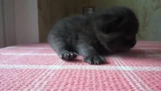 Черный британский котенок Fargo MeowClub *BY