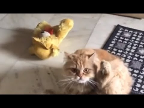 Cat realizes he's being filmed, has hilarious reaction