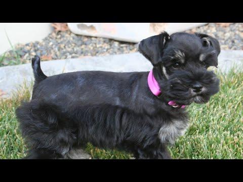 Miniature Schnauzer Puppy - 1st Week of Training!