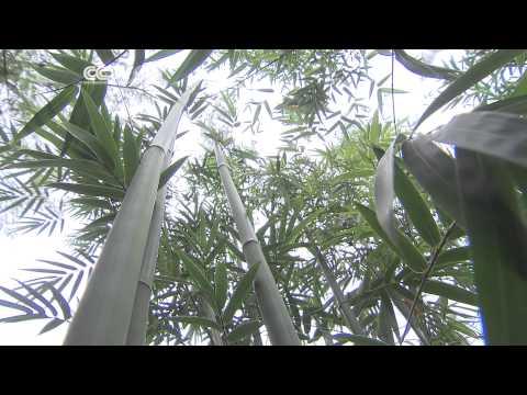 Eco Africa: Bamboo Planting in Rwanda