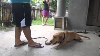 Scottie - Labrador Retriever Basic Obedience