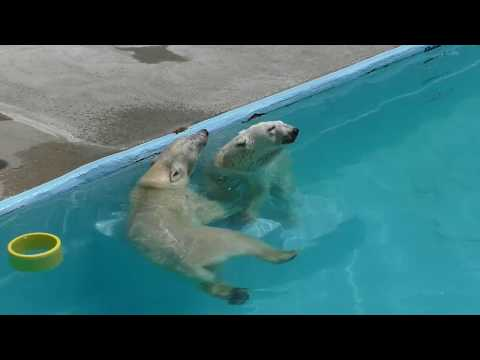 Baffin and Momo the polar bear Mother and daughter, in the water today at Hamamatsu Zoo, Japan