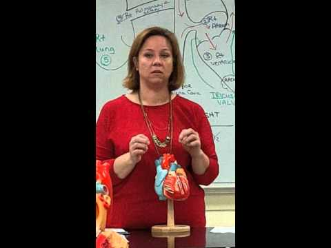 Anatomy and Physiology 2 Heart model video Professor Johnson Texarkana College