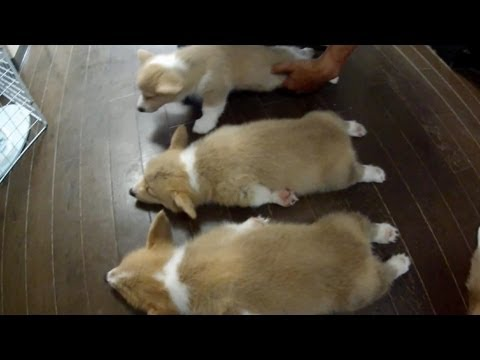 Cute 10 puppies = Chaos! [Part 10] sleeping ( before Part 2) コーギー