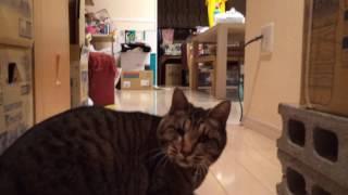鈴のおもちゃで行って来い、シッポを立ててやんちゃに遊ぶ盲目の猫