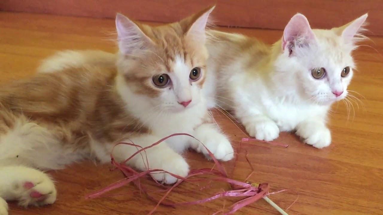 Kucing Munchkin Kucing Kurcaci Yang Tidak Akan Pernah Besar Kucingmunchkin Kucingcebol Youtube
