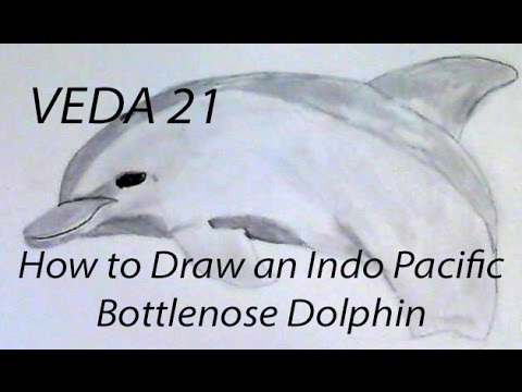 VEDA 21: How to Draw an Indo Pacific Bottlenose Dolphin