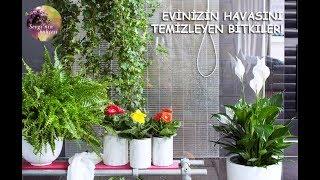 Doğal Hava Temizleyici ve Oksijen sağlayan Bitkiler! Air Purifying House plants ! (ENGLISH CC)