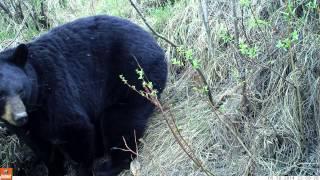 Black Bear scavanging moose carcass near Fairbanks, Alaska