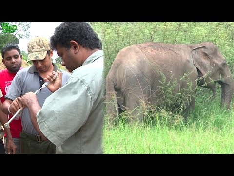 How wildlife officers shoot elephants with tranquilizer guns for treatments