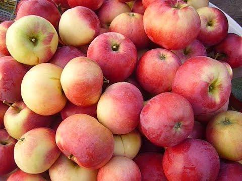 Супер урожай яблок в Сибири. Обзор колоновидных яблонь. Яблони Сибири