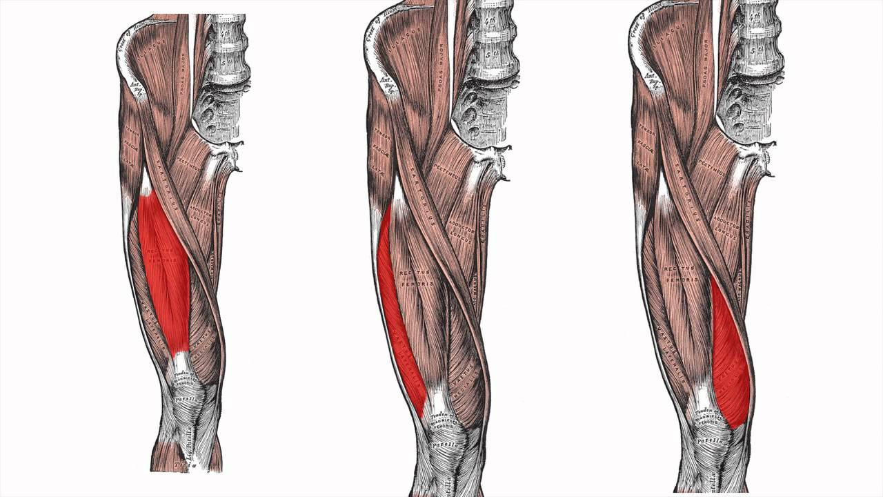 Anatomy of the Lower Limb - Part 1 - YouTube