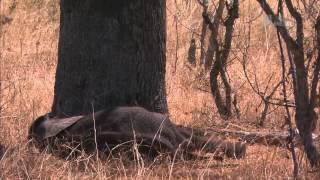 Гангстеры дикой природы - Слоны