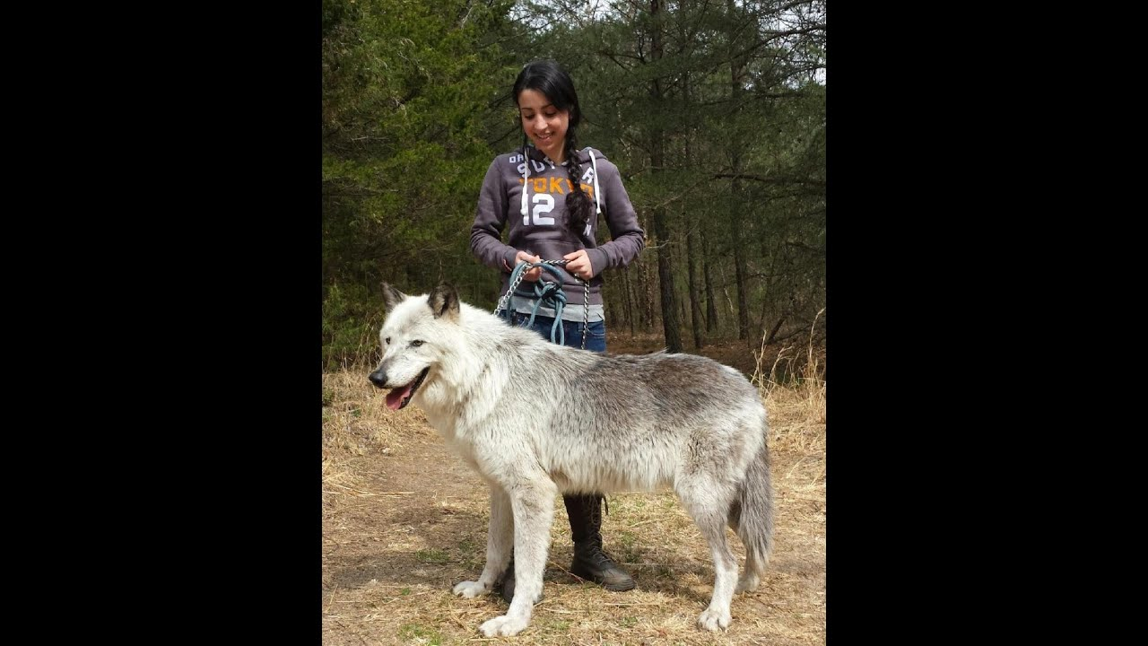 Dogs That Just Like Wolves