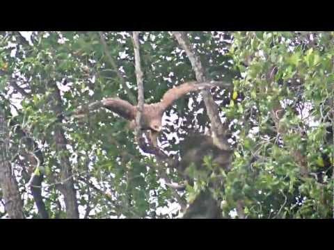 steppe eagle & eastern imperial eagle