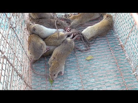 Graphic: Vietnam wild food - Rice Field MOUSE RAT - Cooking MOUSE in Vietnam