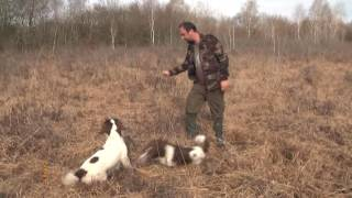 SPRINGER e Labrador