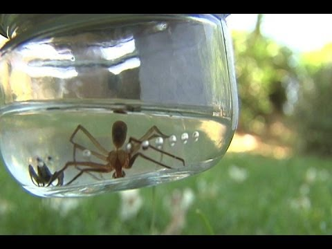 La picadura de la araña reclusa parda \