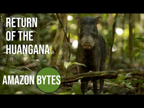 Return of the Huangana - white-lipped peccary hunt by indigenous people