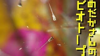 メダカさんのビオトープ「黒ラメと白メダカの混ざった針子が一斉に生まれた」Crepe's Biotope〔4K〕