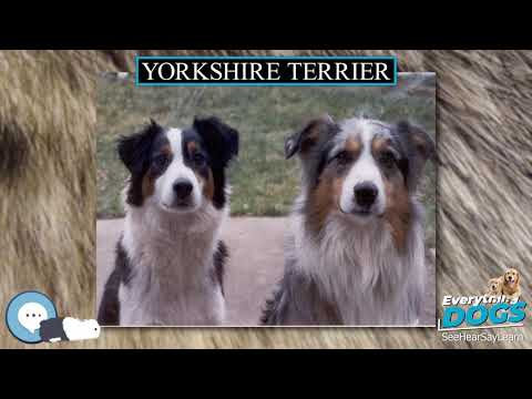 Yorkshire Terrier  Everything Dogs