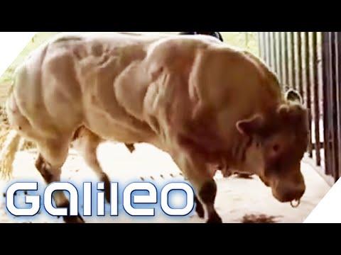 Die Bodybuilder-Kuh | Galileo | ProSieben