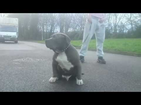 the biggest Blue xxl American bully puppy 4 months powerchainbullys