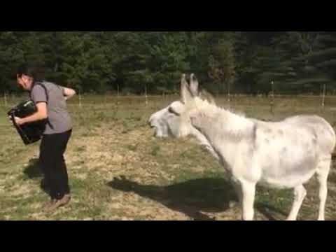 видео: Поющий ослик #Singing donkey