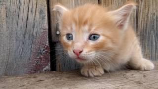 Отдам котенка, котик, рыжий, возраст около 1.5 месяцев. Красноярск