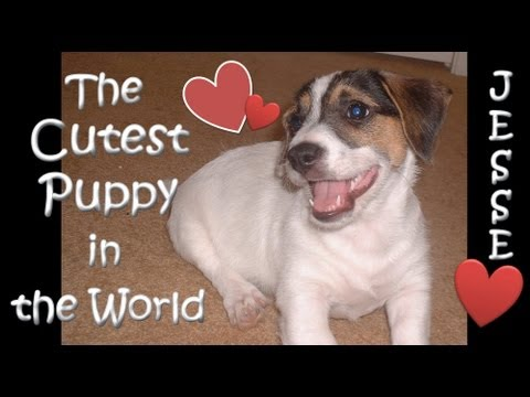 Cutest Puppy in the World Jesse Jack Russell Puppy