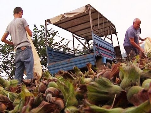 Hazelnut Pickers Face Difficult Conditions