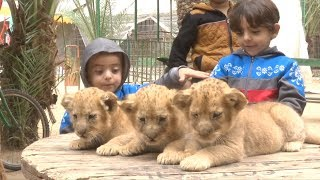 Gaza zoo put lion cubs up for sale fearing care cost