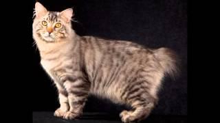 Американский бобтейл (American bobtail)  породы кошек( Slide show)!
