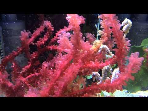 Dwarf Seahorses (Hippocampus zosterae) in macro algae